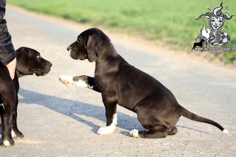 Deutsche Doggen Vom Garten Harlekin
